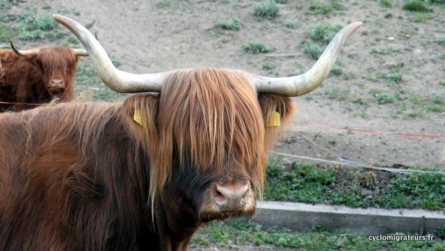 Ah la vache !