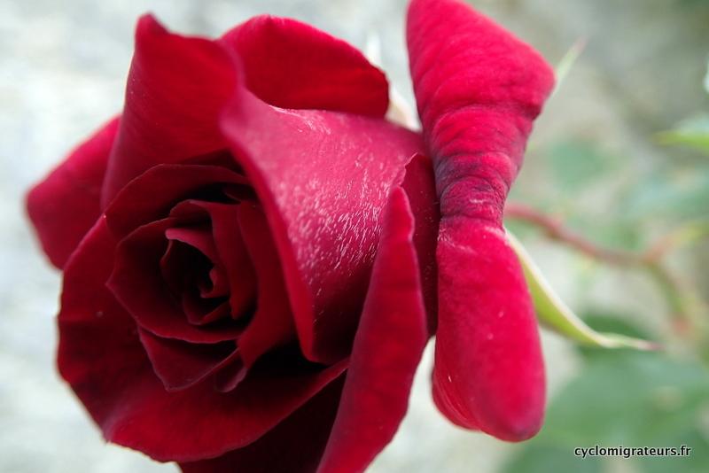 Ceci n'est pas une rose
