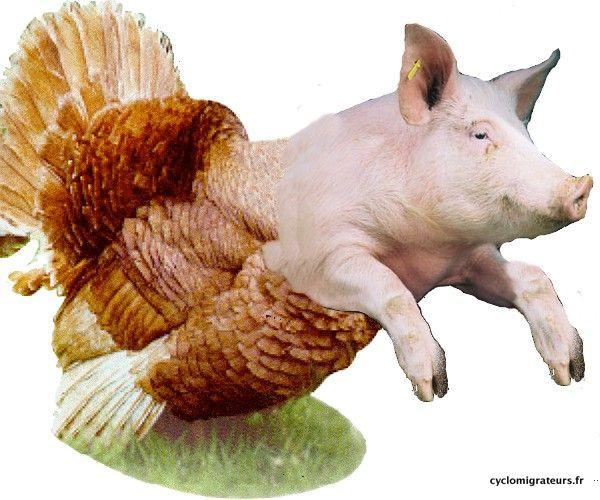 Cochon dinde